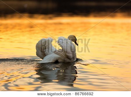 Swan On Sunset Lake