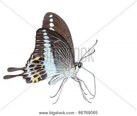 Isoalted Banded Swallowtail Butterfly (papilio Demolion)