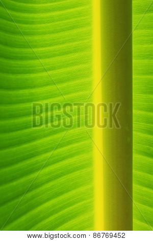 Background and Texture of Vertical Banana Leaf