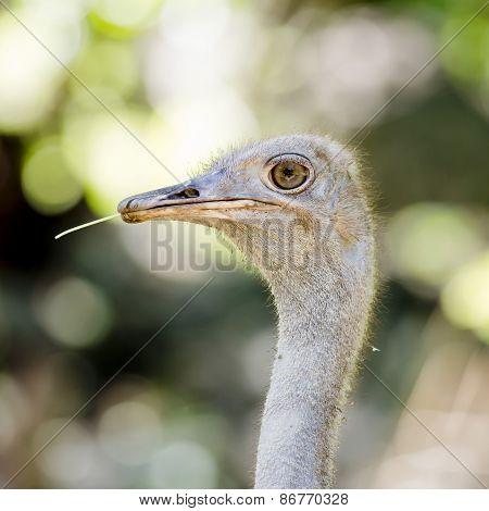 Close Up Ostrich