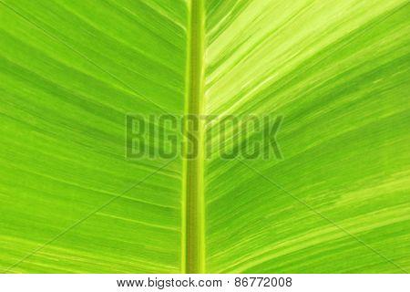 Pattern Of Banana Leaf From Banana Tree