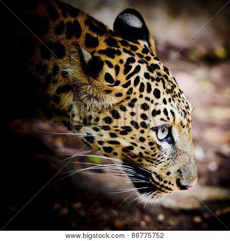 Close Up Portrait Of Leopard With Intense Eyes