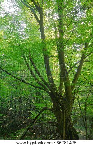 Old Hornbeam In The Wood