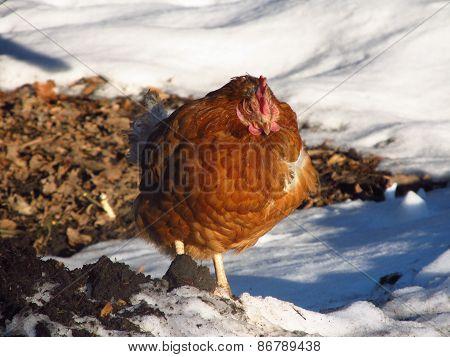 hardened hen