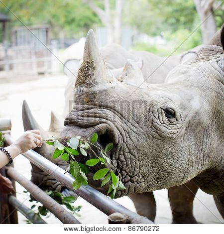 Closeup Shot At The Head Of Rhino Eating Leaves