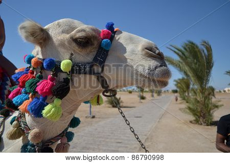 camel's head with bright decorations