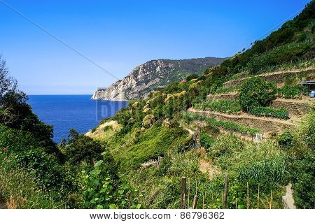Trail Overlooking Vineyards And Sea In The Cinque Terre