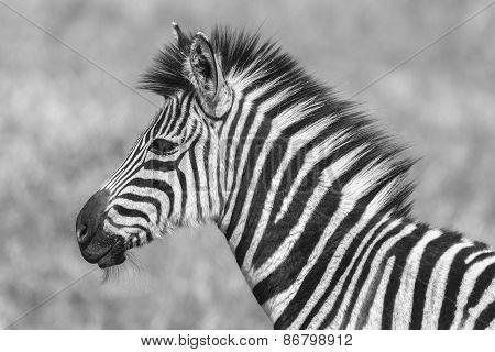 Zebra Calf Wildlife