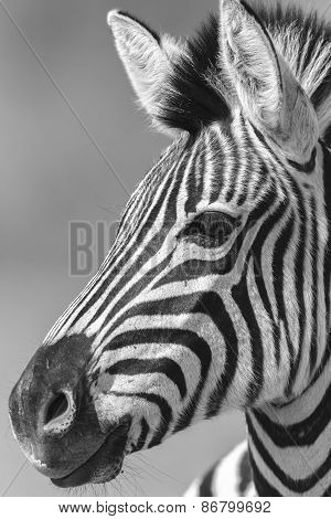 Zebra Head Wildlife