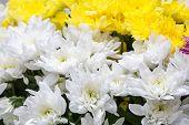 picture of chrysanthemum  - huge amount white and yellow chrysanthemums - JPG