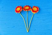 picture of gerbera daisy  - Three gerbera daisy flowers on blue textured canvas background - JPG