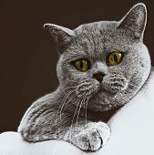 foto of portrait british shorthair cat  - Portrait of young short - JPG
