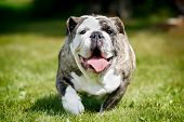 foto of bulldog  - Purebred adult bulldog photographed outdoors on a sunny summer day - JPG