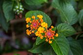 foto of lantana  - Lantana or Wild sage or Cloth of gold or Lantana camara flower - JPG