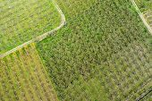 Постер, плакат: Aerial Photographs Blooming Peach Trees In An Orchard