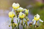 picture of gladiolus  - Finishing their bloom gladiolus in a blurred backfround - JPG
