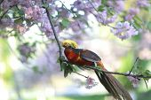 stock photo of pheasant  - colorful Golden pheasant on blooming sakura tree - JPG