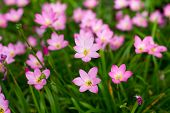 image of lily  - Pink Zephyranthes Lily Rain Lily Fairy Lily Little Witches in the garden - JPG