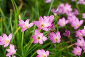 pic of lily  - Pink Zephyranthes Lily Rain Lily Fairy Lily Little Witches in the garden