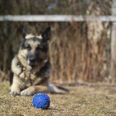 image of toy dogs  - Favorite toy ball in the foreground shepherd dog watching it in the blurred background - JPG