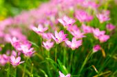 stock photo of lily  - Pink Zephyranthes Lily Rain Lily Fairy Lily and Little Witches in the garden - JPG