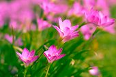 picture of lily  - Zephyranthes Lily or  Rain Lily or Fairy Lily or Little Witches in the garden