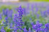 picture of blue-salvia  - Blue Salvia farinacea flowers blooming in the garden - JPG