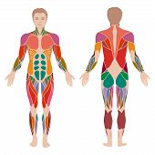 image of male body anatomy  - vector muscular human body - JPG