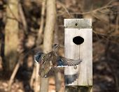 pic of nesting box  - A female wood duck flying into a nest box on a pond in midwest United States - JPG