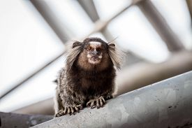 pic of marmosets  - Common marmoset or White - JPG