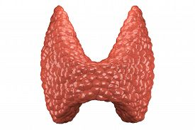 image of mucosa  - Thyroid gland  organ viewed from front - JPG