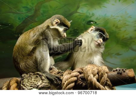 Monkey male and female scrub each other