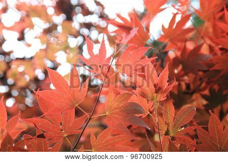 Beautiful maple leaves in nature