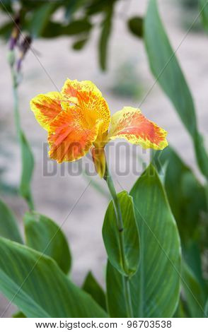 Yellow Flower Canna, Canna Spp. And Hybrid