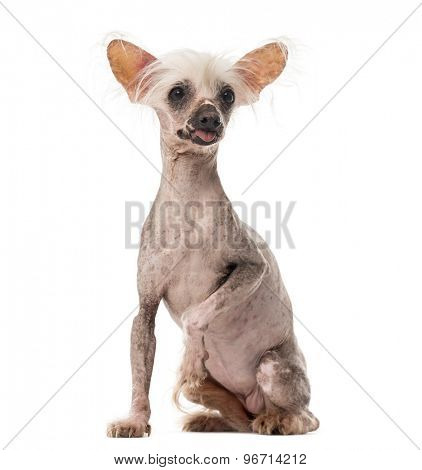 Chinese Crested Dog sitting in front of a white background