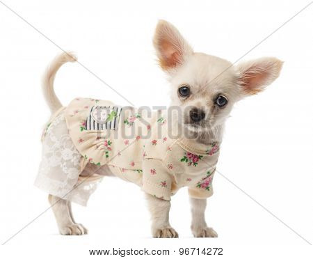 Dressed Chihuahua puppy standing in front of a white background