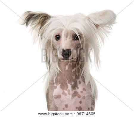 Close-up of a Chinese Crested Dog in front of a white background