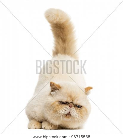 Persian staring in front of a white background