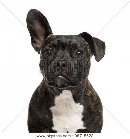 Close-up of a Staffordshire Bull Terrier in front of a white background