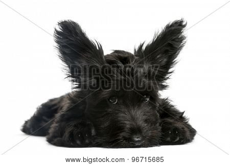 Skye Terrier puppy sitting in front of a white background