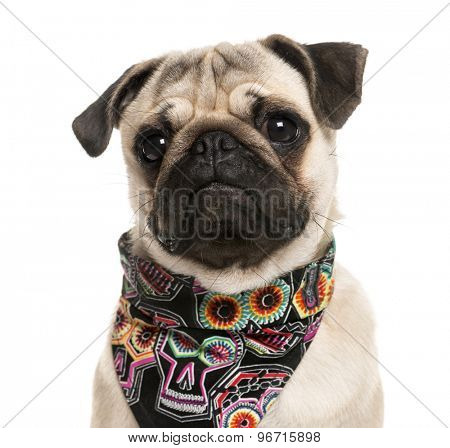 Close-up of a Pug wearing a scarf in front of a white background