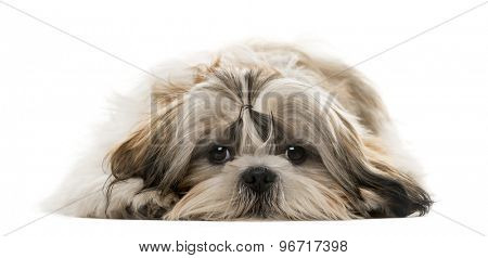 Shih Tzu lying in front of a white background