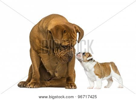 Dogue de bordeaux looking at a French Bulldog puppy in front of a white background