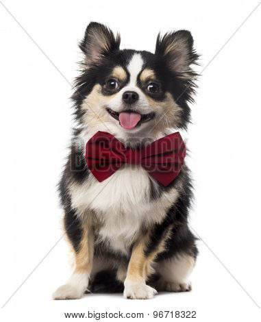 Chihuahua sitting and wearing a bow tie in front of a white background