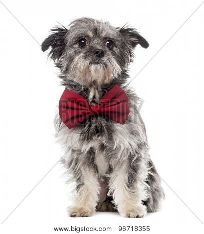 Yorkshire sitting and wearing a bow tie in front of a white background