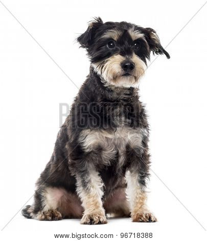 Griffon sitting in front of a white background