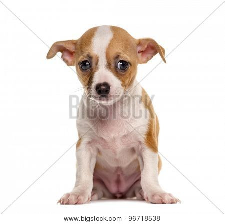 Sad Chihuahua puppy sitting in front of a white background