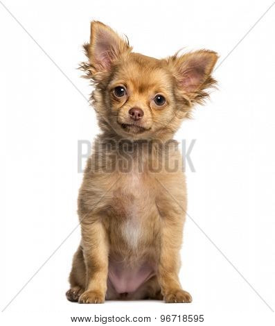 Chihuahua puppy sitting in front of a white background
