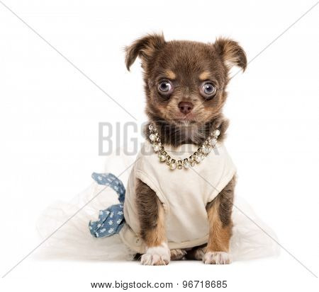 Dressed Chihuahua puppy sitting in front of a white background