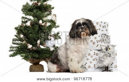 Shih Tzu sitting next to a Christmas tree and presents in front of a white background